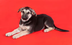 Yellow with black markings puppy lying on red Stock Photos