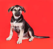 Yellow with black markings puppy sitting on red Royalty Free Stock Images