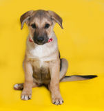Yellow with black markings puppy sitting on yellow Stock Photo