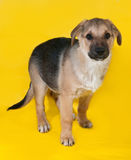 Yellow with black markings puppy standing on yellow Royalty Free Stock Image