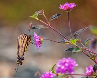 Yellow and Black Monarch Butterfly on a Flower. A yellow and black monarch butterfly drinks nectar from a flower royalty free stock images