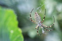 Yellow-black orb-weaver spider. Argiope Bruennichi, or the wasp-spider on the web, cobweb against green natural background, closeu. P Stock Photos