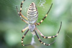 Yellow-black orb-weaver spider. Argiope Bruennichi, or the wasp-spider on the web, cobweb against green natural background. Closeup Royalty Free Stock Image