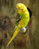 Yellow and Black Parakeet Stock Images