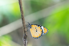 Yellow black pattern butterfly on branch Royalty Free Stock Images