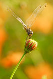 Yellow black pattern dragon fly close up Royalty Free Stock Photography