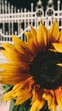 Yellow and Black Petaled Flower Royalty Free Stock Photo