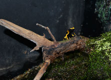 Yellow and black poison dart frog Stock Image
