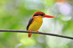 Yellow black and red bird (Black backed Kingfisher Royalty Free Stock Images