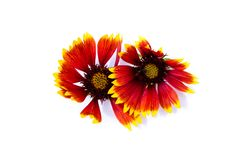 yellow black red cockade blanket flowers isolated on white background stock image