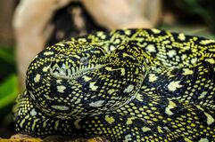 Yellow and Black Snake Stock Images