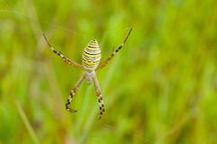 Yellow-black spider (Argiope Bruennichi) Royalty Free Stock Images