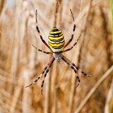 Yellow-black spider in her spiderweb Royalty Free Stock Photos