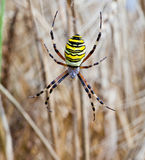 Yellow-black spider in her spiderweb Stock Photography