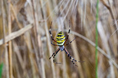 Yellow-black spider in her spiderweb Stock Images