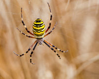 Yellow-black spider in her spiderweb Royalty Free Stock Images
