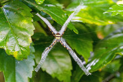 Yellow-black spider in her spiderweb - Argiope versicolor (Multi Royalty Free Stock Photos
