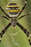 Spider. Yellow-black spider macro closeup Stock Images