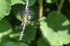The yellow and black spider. The spider's web and the yellow and black spider Stock Image