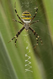Spider. Yellow-black spider in  spiderweb Stock Photo