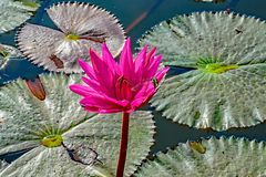 Sacred Lotus blossom and the dragonfly royalty free stock image
