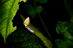 Yellow and Black Stripe Snail on Green Leaf Royalty Free Stock Image