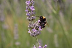 Bumble bee. A yellow and black striped bumble bee on lavender in a garden Stock Photos