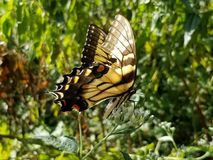 Yellow and Black Butterfly - Eastern Tiger Swallowtail Papilio royalty free stock images