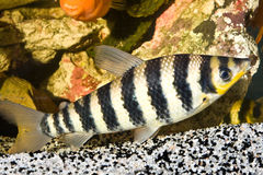 Yellow black striped fish in an aquarium Royalty Free Stock Photo