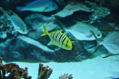 Yellow and black striped fish in salwater Royalty Free Stock Photos