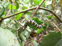 Yellow-black striped hairy caterpillar on plant in Swaziland Stock Photo