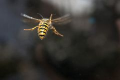 Yellow black striped wasp in flight Stock Photography