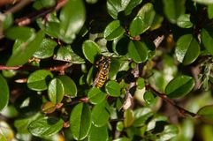 Yellow and black striped wasp insect on green leaves. Nature background royalty free stock images