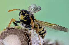 Yellow and Black Wasp on Brown Branch Royalty Free Stock Photos