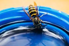 Yellow black wasp drink macro. Yellow black wasp macro drinking from tube closeup stock photography