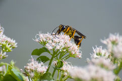 Yellow and Black Wasp. Drinking Nectar On White Wildflower stock photos