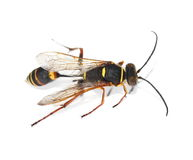 Yellow black wasp isolated on white. Background Royalty Free Stock Images