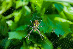 Yellow and black wasp spider (Argiope Bruennichi) Royalty Free Stock Images