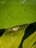 Yellow and black wasp wandering on a leaf. Yellow and black wasp wandering on a tree leaf Royalty Free Stock Photo
