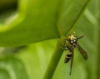 Yellow and black wasp wandering on a leaf. Yellow and black wasp wandering on a tree leaf Stock Photo