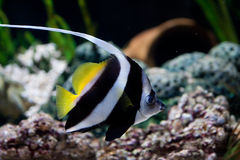 Yellow black and whit Fish. A yellow and b/w Fish in an Aquarium royalty free stock photo