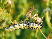 Yellow, Black and White Caterpillar. Beautiful Yellow, Black and White Caterpillar on a Stem. Macro image Royalty Free Stock Photos