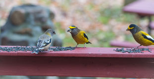 Yellow, black & white colored Evening GrosbeaksCoccothraustes vespertinus stop to eat where there is bird seed aplenty. Stock Images