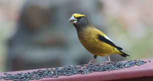 Yellow, black & white colored Evening GrosbeaksCoccothraustes vespertinus stop to eat where there is bird seed aplenty. Royalty Free Stock Images