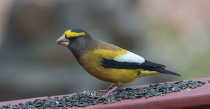 Yellow, black & white colored Evening GrosbeaksCoccothraustes vespertinus stop to eat where there is bird seed aplenty. Royalty Free Stock Photography