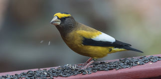 Yellow, black & white colored Evening GrosbeaksCoccothraustes vespertinus stop to eat where there is bird seed aplenty. Stock Photos