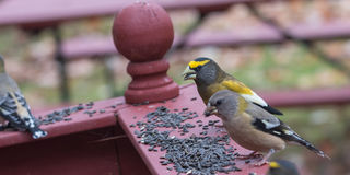 Yellow, black & white colored Evening GrosbeaksCoccothraustes vespertinus stop to eat where there is bird seed aplenty. Royalty Free Stock Photo