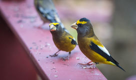 Yellow, black & white colored Evening GrosbeaksCoccothraustes vespertinus stop to eat where there is bird seed aplenty. Stock Photo