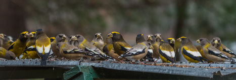 Yellow, black & white colored Evening GrosbeaksCoccothraustes vespertinus stop to eat where there is bird seed aplenty. Royalty Free Stock Photos