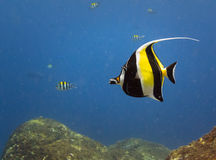 Yellow, black, white striped tropical fish swim Castle Rock Reef Royalty Free Stock Photos